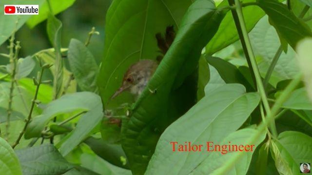 tailorbird3_batch