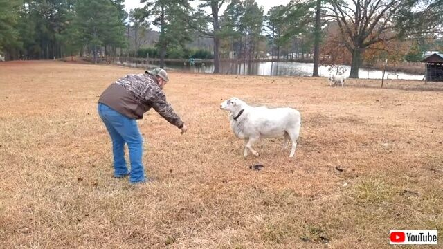 sheepattack3_640
