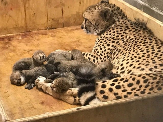 cheetah-eight-cubs-st-louis-zoo-7-5a4f6fd5320e5__700_e