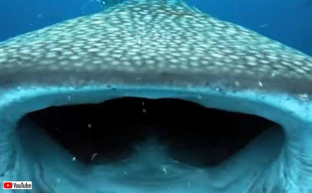 whalesharkattack0_640