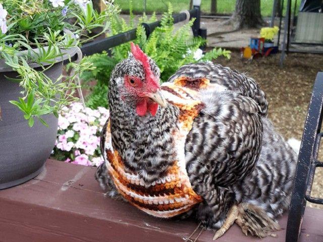 chick15_e