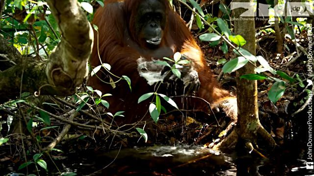 orangutansnsoap4