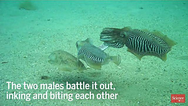 cuttlefish7
