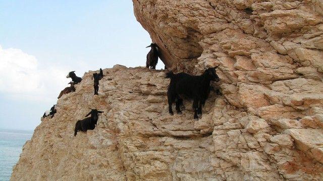 goat-10_e0