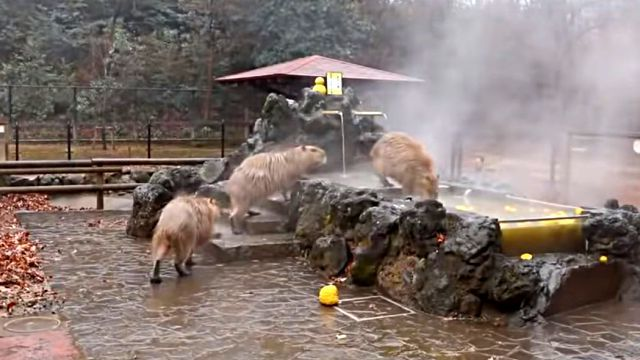capybaraspa2
