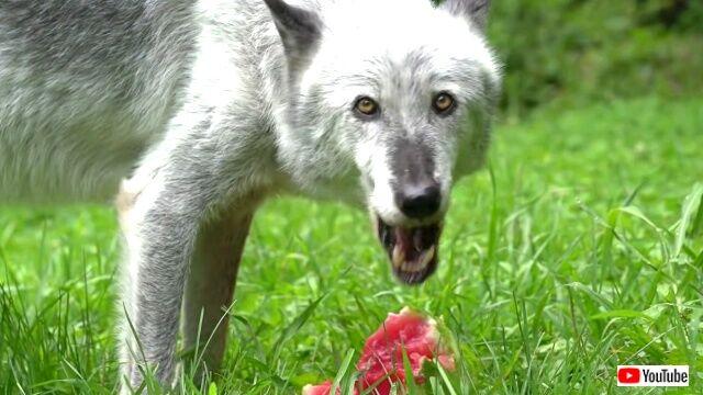 wolveslovewatermelon0_640