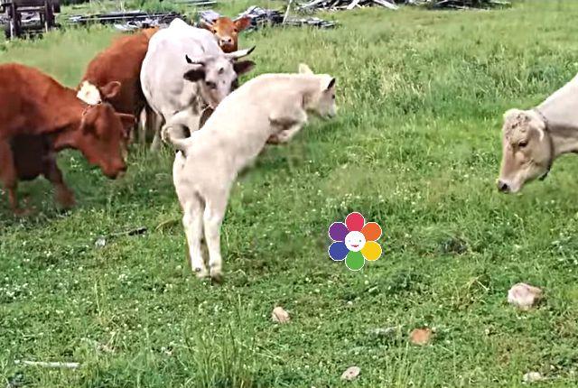 cowturtle3b