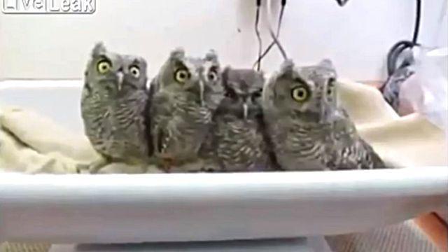 owlbaby2