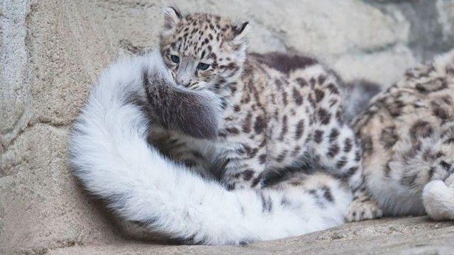 snowleopards7_e