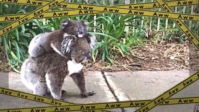 koala1-frame