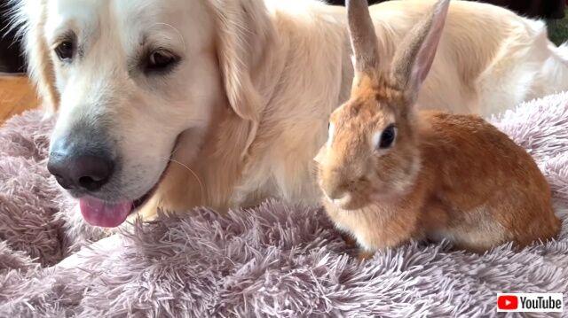 rabbitsngolden6_640