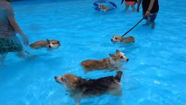 corgiswiming3_e
