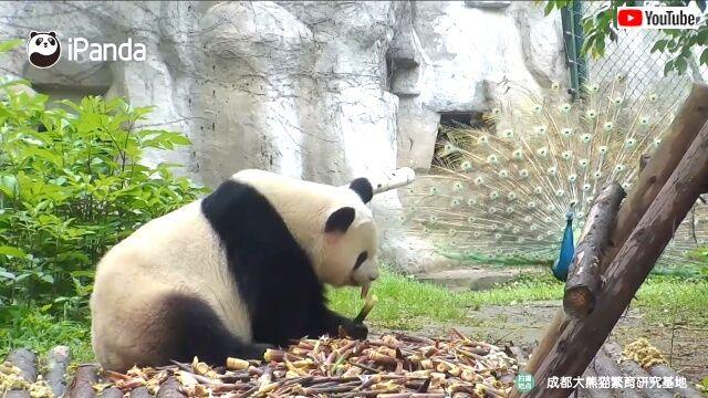 pandanpeacock0_640