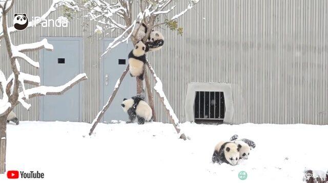 snowpandas1_640