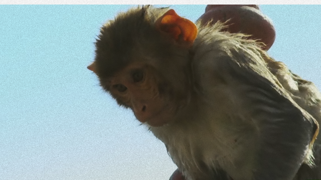 monkey-1_e