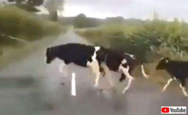 cowsjump2_640
