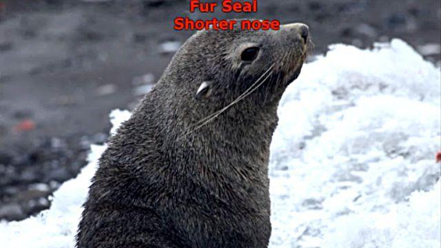 sealfurseal5