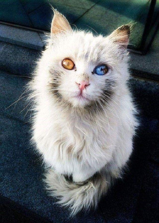 Heterochromic-Eyed-Cat_e
