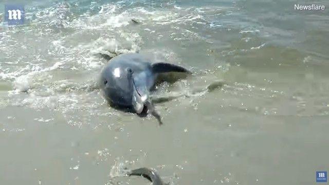 beachingdolphin2_e