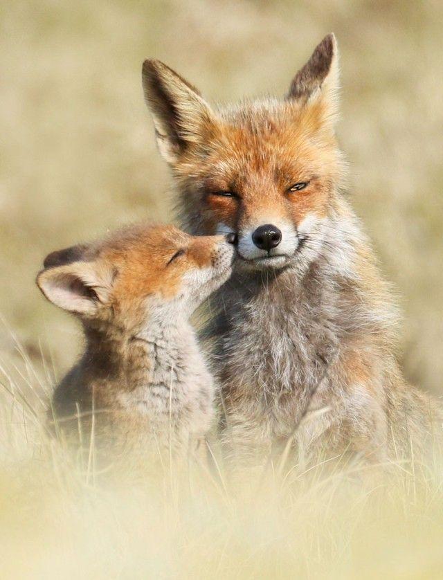 fox1_e