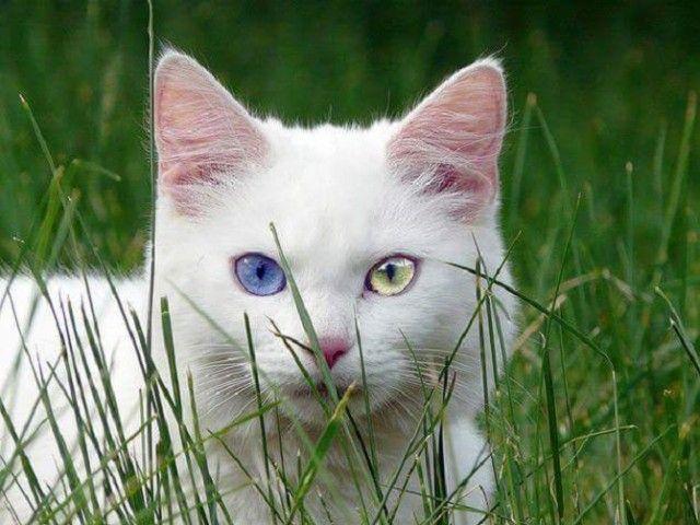 Heterochromic-Eyed-Cat-9_e