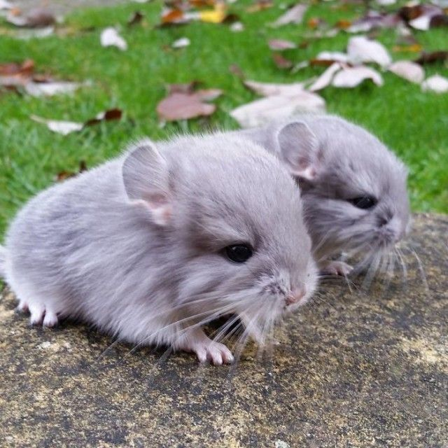chinchilla9
