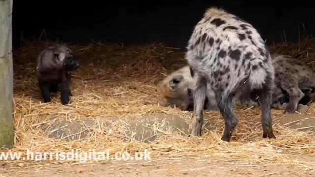 hyena-4_e