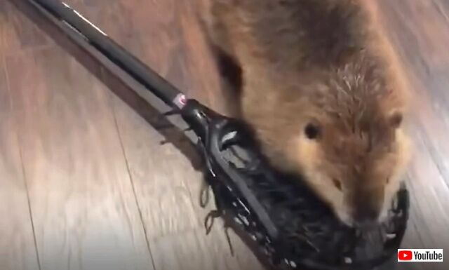 beaver3_640