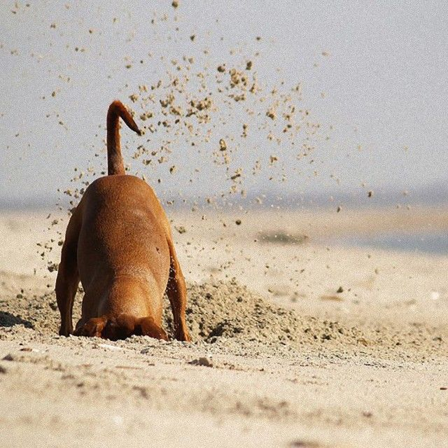 dog-digging-sand_e