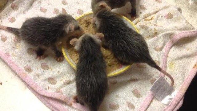 opossum-6_e