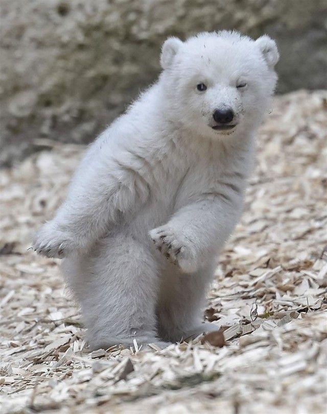 winking-polar-bear-cub-germany-1-58b7ce24656e6__880_e