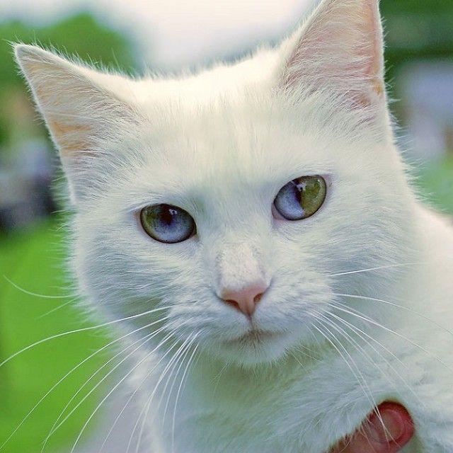 Heterochromic-Eyed-Cat-11_e