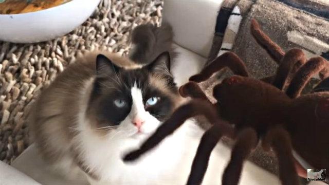 spidercat3
