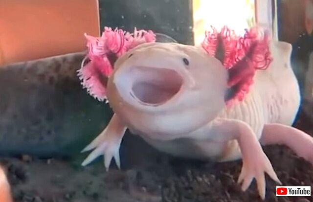 axolotls2_640
