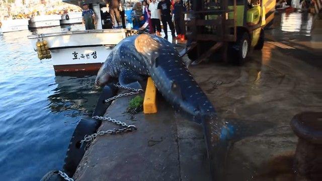whalesharkinkorea4_e
