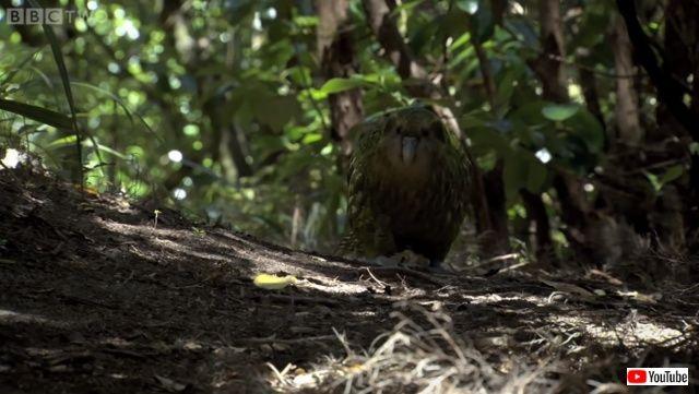 kakapo2._640