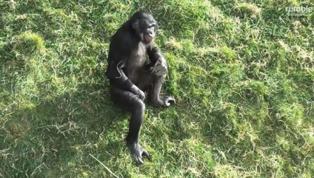 bonobo1_e