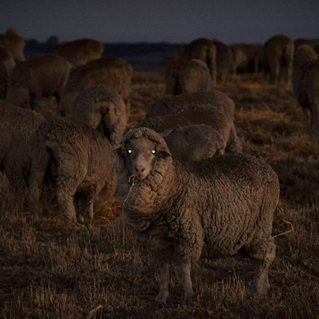 creepy-sheep2_e