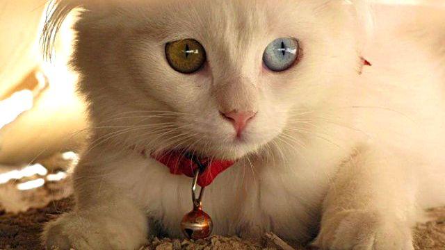 Heterochromic-Eyed-Cat-13_ea