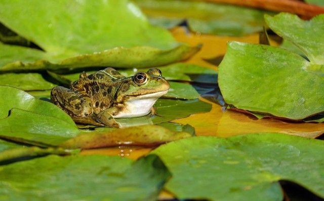 frog-2211972_960_720_e