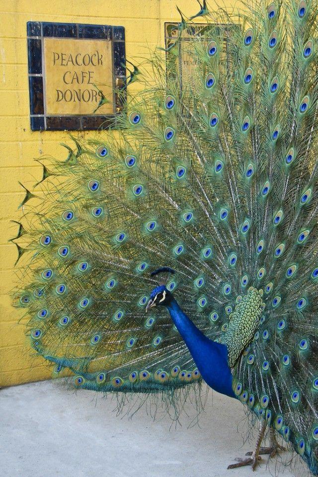 Peacock-Cafe_e