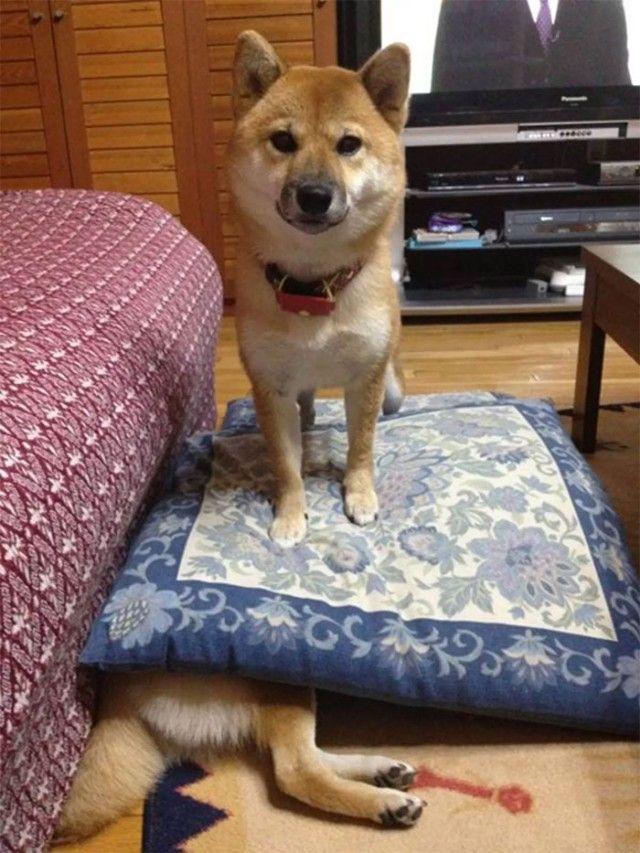 funny-shiba-inu-35-5aec502fc6acc__700_e