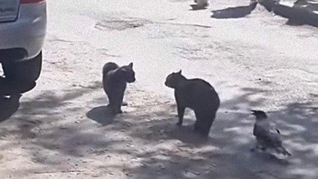 fightingcats0_e