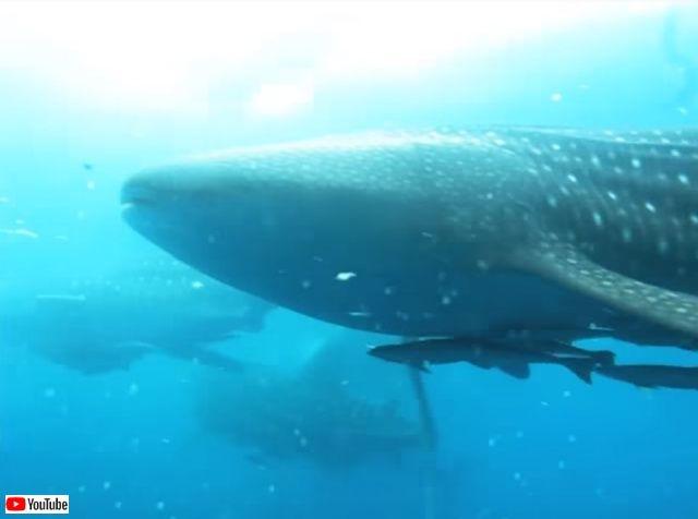 whalesharkattack1_640