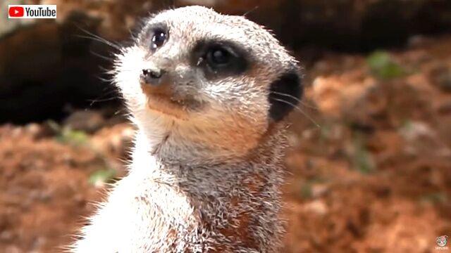 meerkat6_640