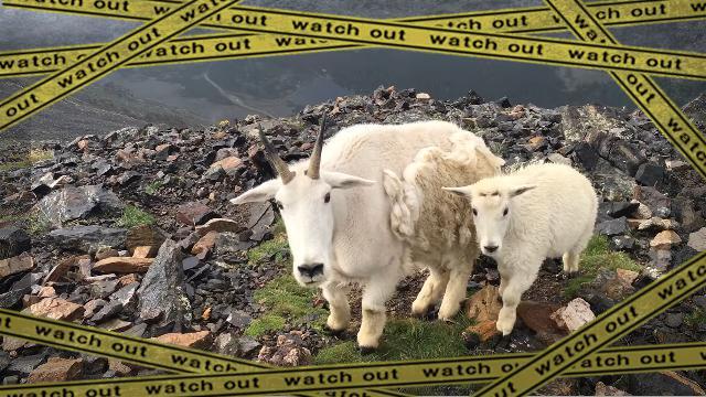 goat-1 [www-frame