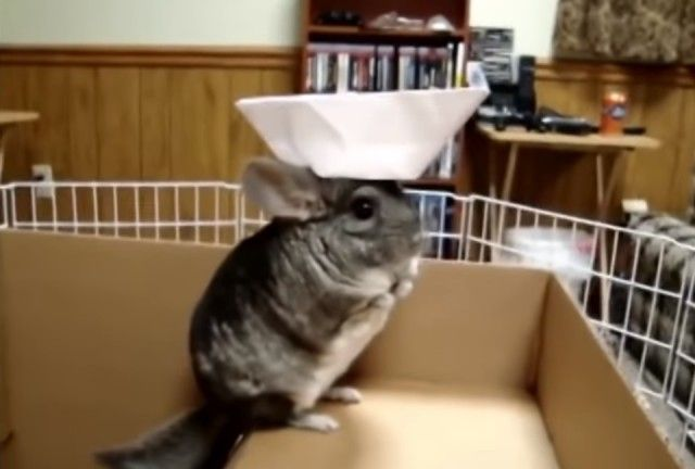 chinchilla2_e