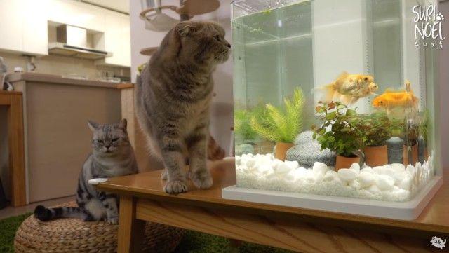 catsngoldfish7_e