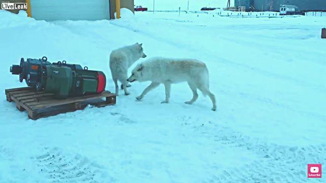 arcticwolf3