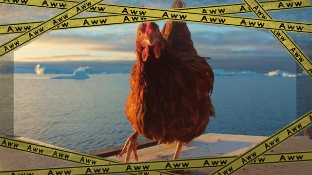chickenok-frame